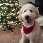 Goldendoodle Pups for Sale in Pennsylvania