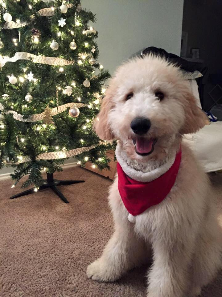 Goldendoodle Puppies & Standard Poodles for Sale in PA