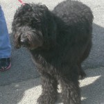 Black Goldendoodle Puppy for Sale in PA