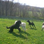 Goldendoodles for Sale in Pennsylvania