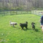 Goldendoodles & Poodles for Sale in PA
