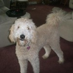 Goldendoodle Puppies for Sale in Pennsylvania