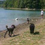 Adopt Black & Golden Goldendoodles in PA
