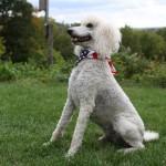 Cream Standard Poodle