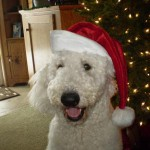 Curly Coat Goldendoodle for Sale in PA