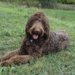 Chocolate Goldendoodles for Sale in PA