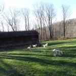 Goldendoodle Breeders in Pennsylvania