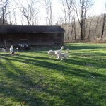 Goldendoodles and Poodles for Sale in PA