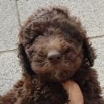 Chocolate Goldendoodle Pups for Sale in PA