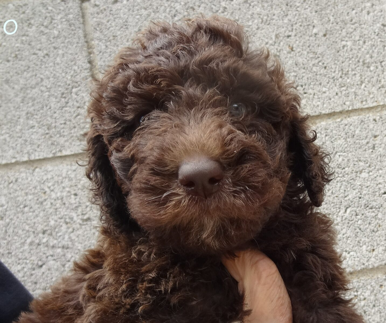 Standard Goldendoodles for Sale Pennsylvania | Yankee ... Adult Goldendoodle