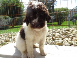 Chocolate & White Goldendoodle Puppies for Sale in Pennsylvania