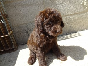 Chocolate Goldendoodle Breeder in PA