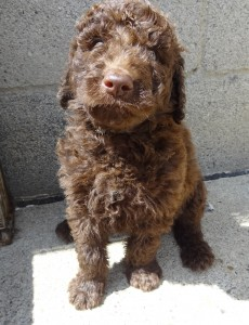 Pennsylvania Goldendoodle Puppy Breeder