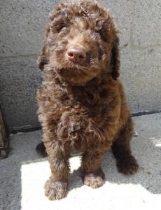 Pennsylvania Goldendoodle Puppy Breeder