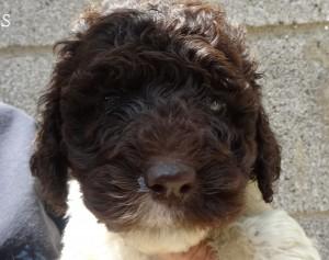 Goldendoodle & Standard Doodle Puppy Breeder in PA