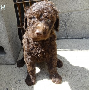 Buy Goldendoodle Pups in Pennsylvania