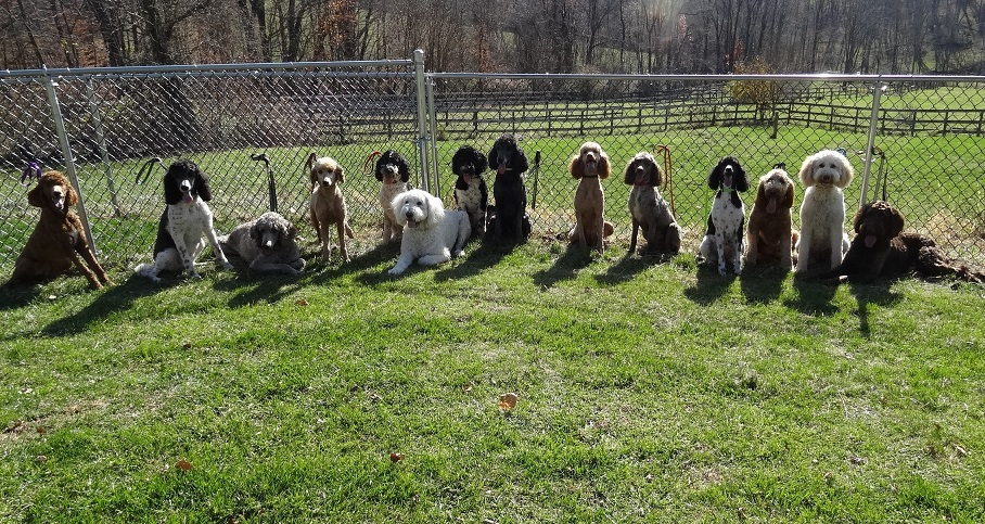 Standard Poodles & Goldendoodles for Sale in Pennsylvania