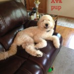 Buy Goldendoodle Puppies in Pennsylvania