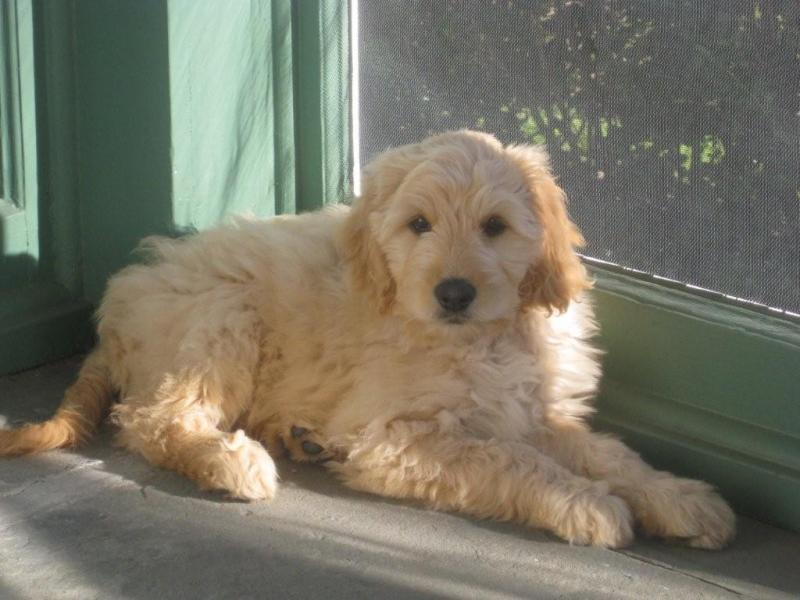 What is a Goldendoodle? | Yankee Doodles and Poodles Adult Goldendoodle