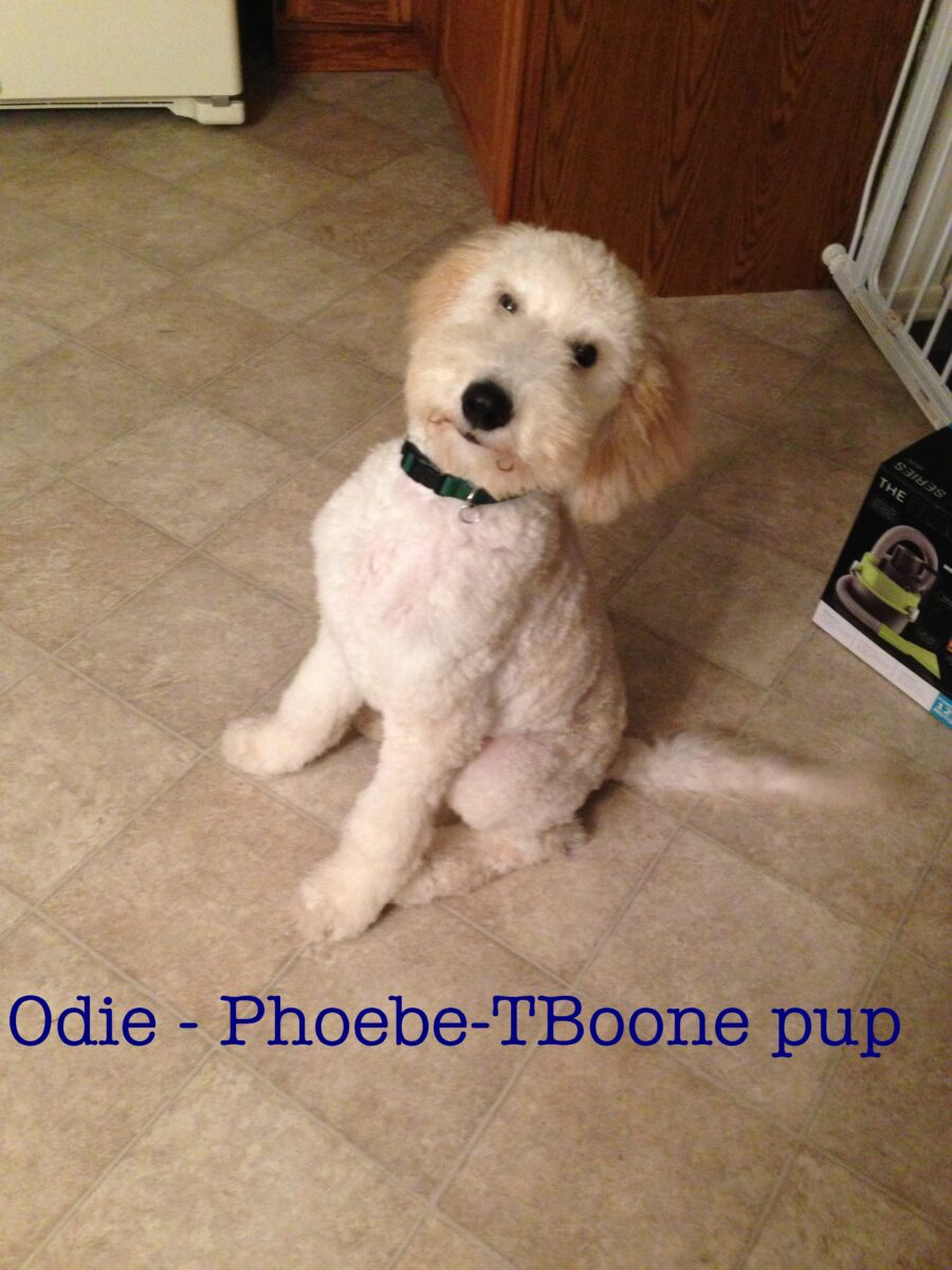 Goldendoodle Puppies Standard Poodles For Sale In Pa