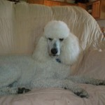 Standard Poodles for Sale in PA
