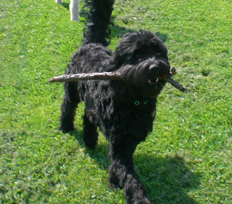 Black Goldendoodles for Sale in Pennsylvania