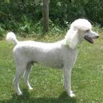 Standard Poodle Breeder in PA