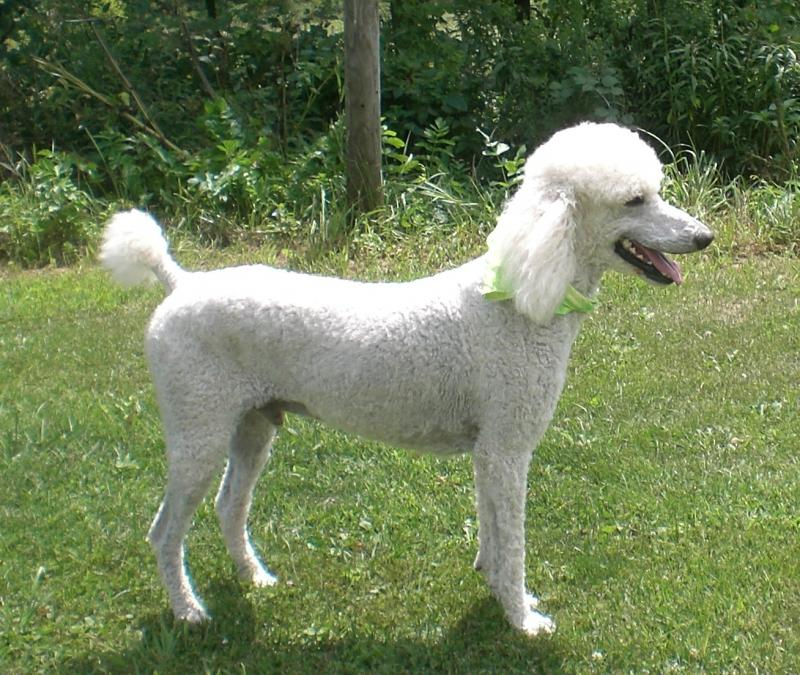 Standard Poodle and Goldendoodle Puppy Moms & Dads | Yankee