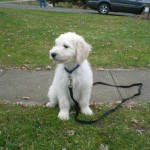 Goldendoodle Puppy Breeder in Pennsylvania