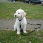 Goldendoodle Puppy Breeder in Pennsylvania