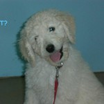 Goldendoodle Pups for Sale in PA