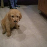 Goldendoodle Puppies for Sale & Adoption in PA