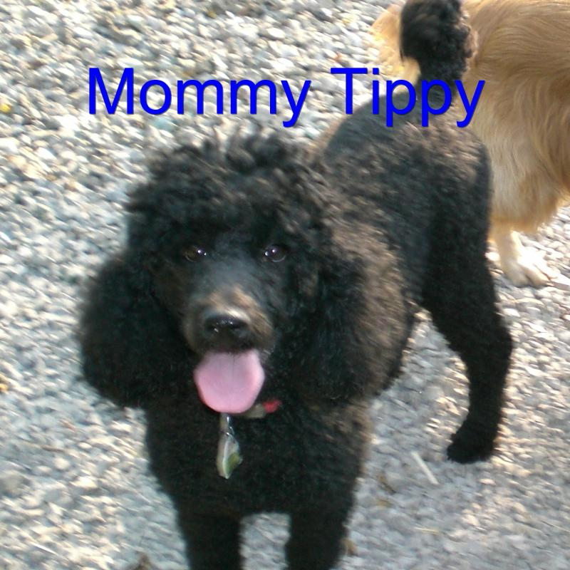 Black Goldendoodle Female in Pennsylvania