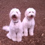 Female Goldendoodles for Sale in PA