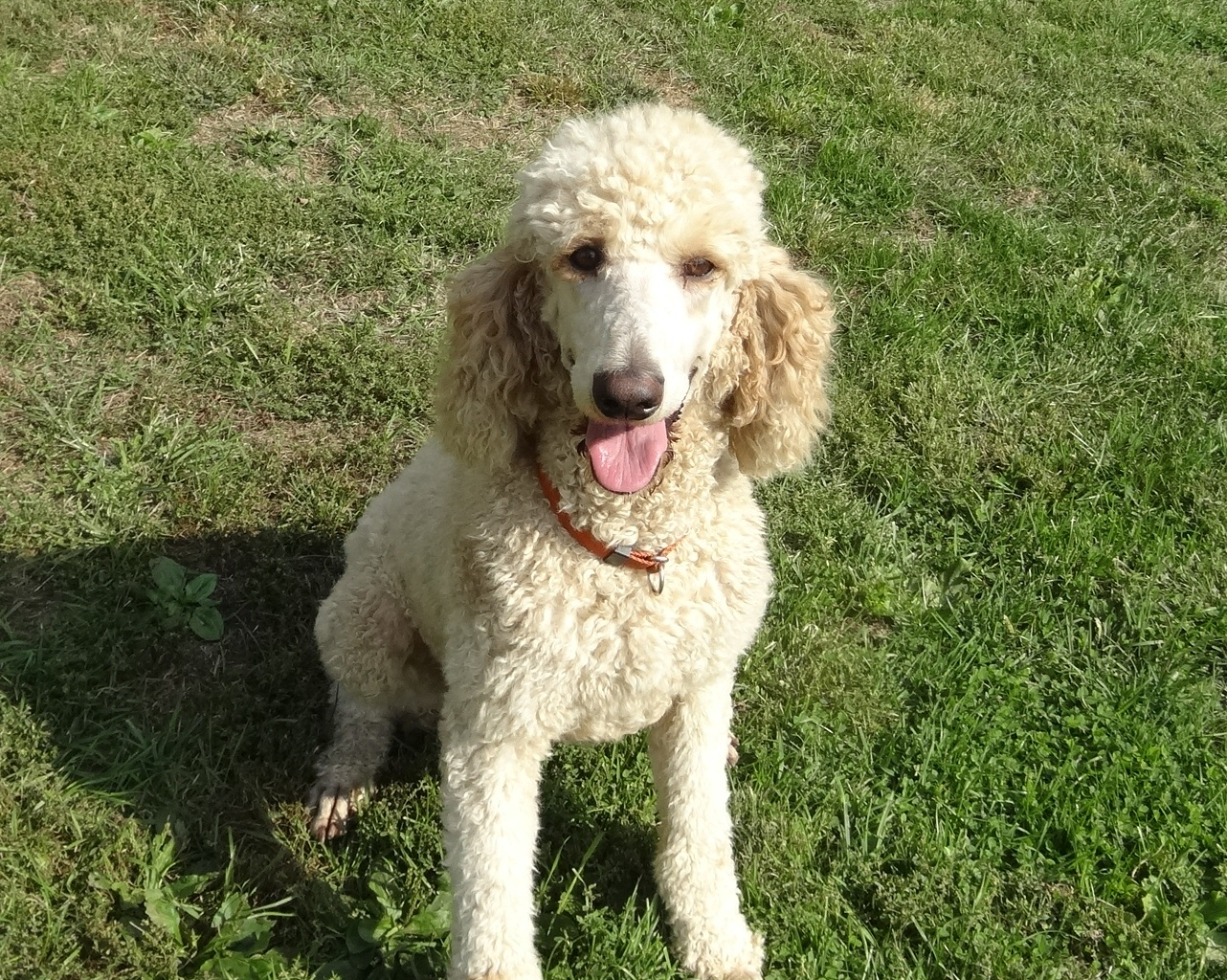 Goldendoodle Puppies Standard Poodles For Sale In Pa Yankee